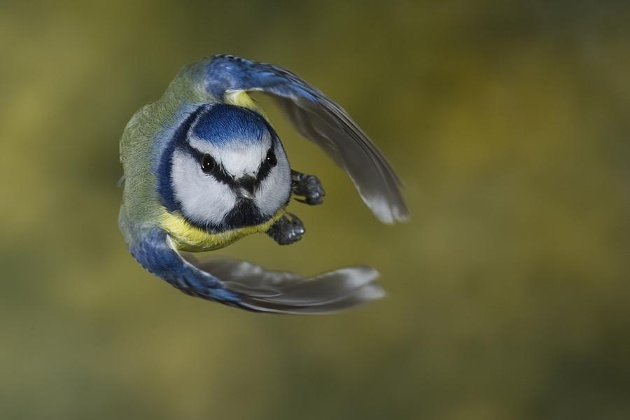 Foto-Dieter Mahlke - Blaumeise