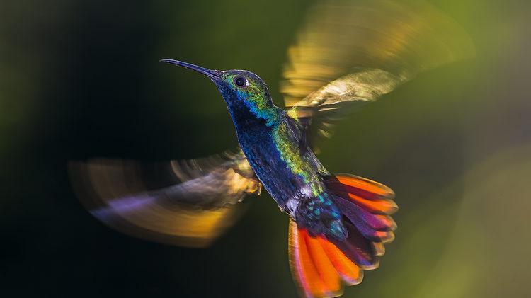 Foto: KristhianCastro, Diamant der Lüfte, Kolibri